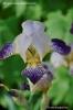 Iris germanica (gammal sort)