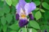 Iris germanica x hybrida 'Cherished'