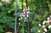 Actaea pachypoda (Vit Trolldruva)