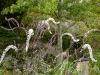 Actaea simplex 'Purpurea'