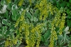 Chiastophyllum oppositifolium (Gullbåge)