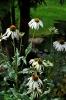 Echinacea purpurea 'Alba' (Vit Solhatt)