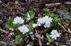 Sanguinaria canadensis 'Multiplex' (Näckrosblodört)